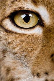 Close-up of Eurasian Lynx eye, Lynx lynx, 5 years old