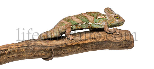 Side view of a Veiled chameleon standing on a branch, Chamaeleo calyptratus, isolated on white