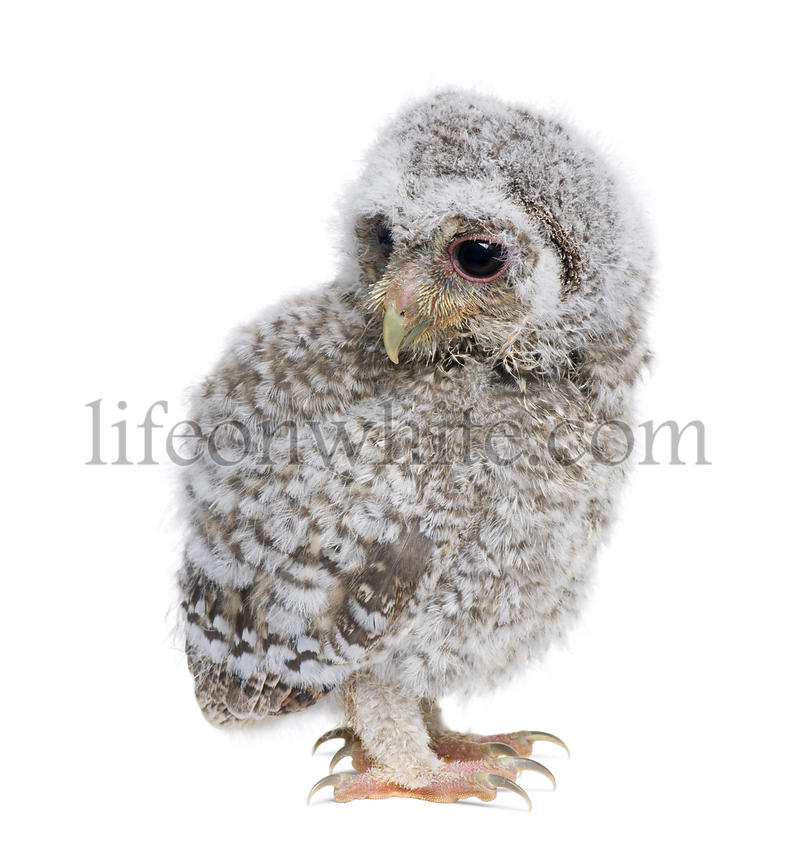 Baby Little Owl, 4 weeks old, Athene noctua, in front of a white background