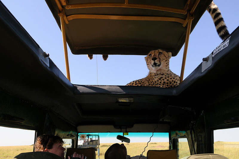 Adrenaline subsiding slightly as the cheetah settles down again
