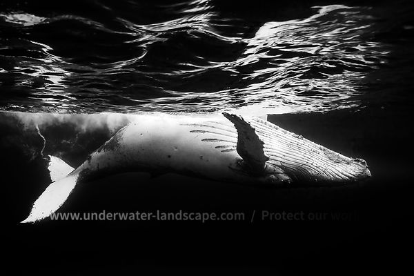 On the surface of the water: a humpback whale