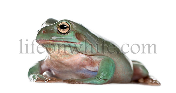 Side view of Australian Green Tree Frog, Litoria caerulea, against white background, studio shot