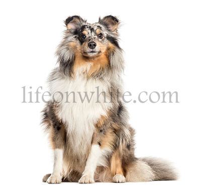 Proud Shetland Sheepdog, dog, isolated on white (2 years old)