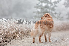 Golden Retriever Type Dog Looking Off to Side