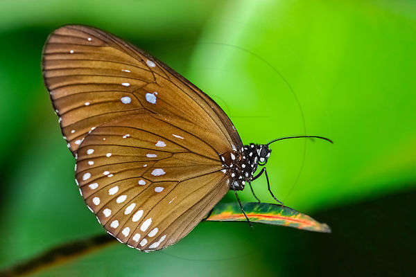 Euploea modesta - Plain Blue Crow (Euploea modesta) - Private gallery
