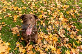 A chocolate lab surrounded by yellow maple leaves