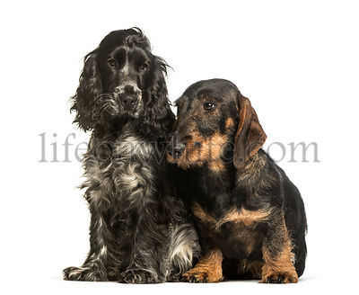 Cocker Spaniels and dachshund sitting against white background