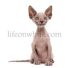 Kitten Lykoi cat, 7 weeks old, also called the Werewolf cat looking up against white background