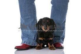 Black and Tan Dachshund Puppy Sitting Between Jean Legs With Red Boots Looking Up
