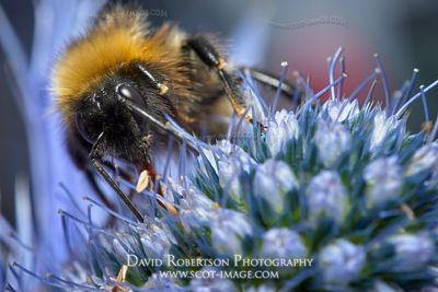Prints & Stock Image - Female White-tailed Bumblebee, Bombus Lucurom, on a Sea Holly flower, Eryngium giganteum.