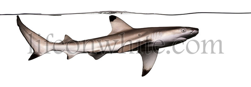 Blacktip reef shark swimming under water, Carcharhinus melanopterus, isolated on white