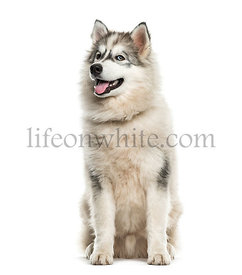 Young Alaskan Malamute dog looking up against white background