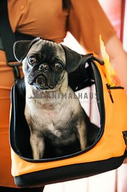 A pug being carried in an open orange canvas crate