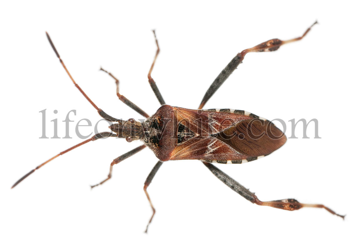 Western conifer seed bug, Leptoglossus occidentalis, in front of white background