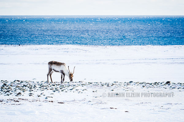 Reindeer eating at the beach in Northern Norway