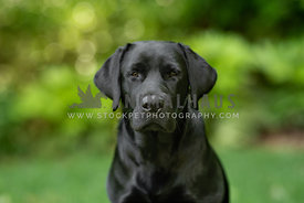 close up of young, serious black lab sitting in front of green bushes