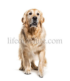 Golden Retriever coming, isolated on white