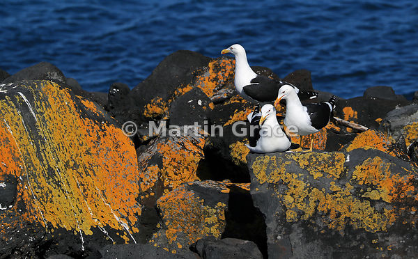 Three Southern Black-Backed Gulls (Larus dominicanus dominicanus) on the lichen-encrusted rocks of a breakwater at Gulf Harbo...