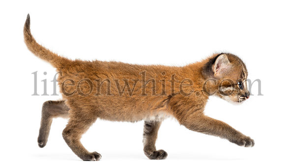 Side view of an Asian golden cat walking, Pardofelis temminckii, 4 weeks old