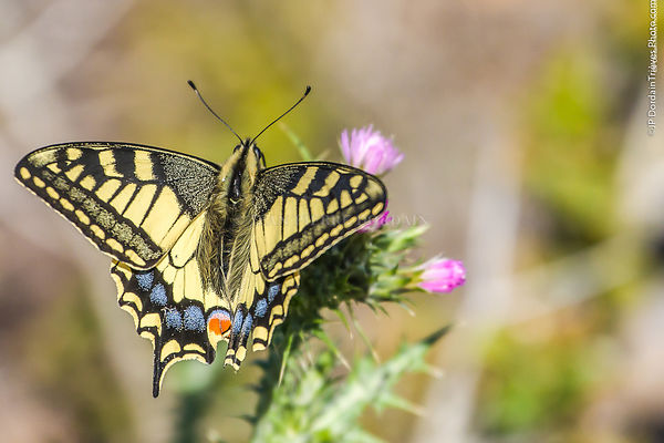 machaon-6