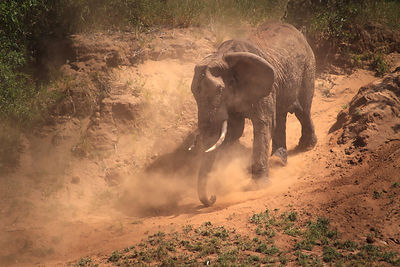 Dusty Elephant IV