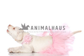 Cream Laborador Puppy wearing pink tutu and pink flower collar laying on white barking