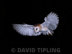 Barn Owl Tyto alba (wild) female North Norfolk winter