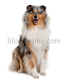 Rough Collie, 18 months old, sitting