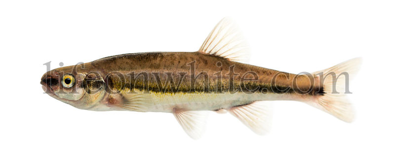 Side view of an Eurasian minnow, Phoxinus phoxinus, isolated on white
