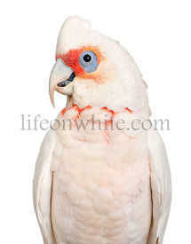 Long-billed Corella - Cacatua tenuirostris