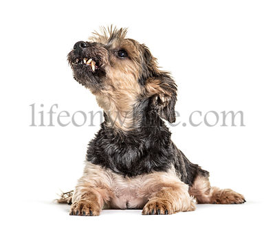 Grumpy Lying Yorkshire Terrier looking up showing his tooth