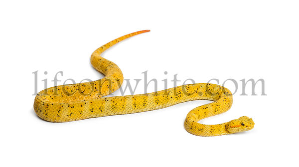 Bothriechis schlegelii, Bothriechis schlegelii, the eyelash viper, is a venomous pit viper against white background