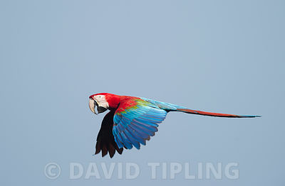Red and Green Macaw  Ara chloroptera Tambopata Amazon Rainforest Peru
