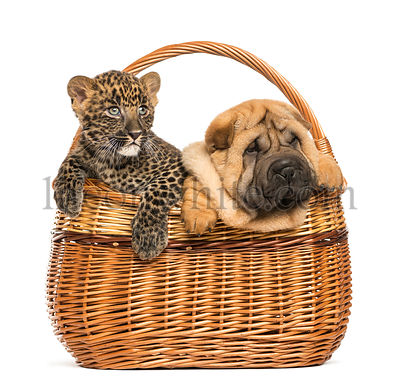 Sharpei puppy and spotted Leopard cub in a wicker basket, isolated on white