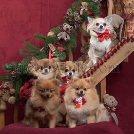 Chihuahuas and german spitz, in christmas decorations