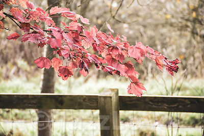 Red maple leaves on tree branch hanging over wooden fence in autumn woodland.
