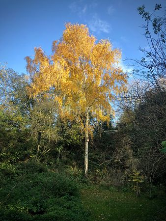 Golden leaves on trees in autumn