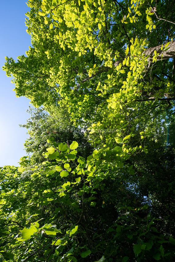 Tree canopy against a blue sky.