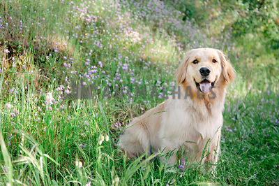 A golden retriever sitting in a field of wildflowers