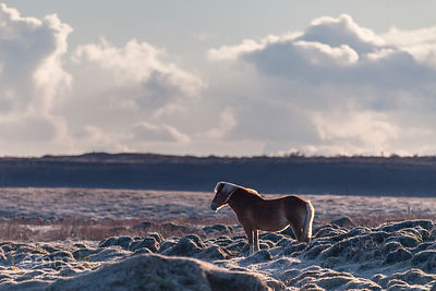 Hestur_-_Icelandic_horse_in_south_Iceland_emm.is