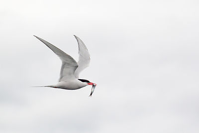 South American tern in flight over the Beagle Channel with an unfortunate fish in its beak.