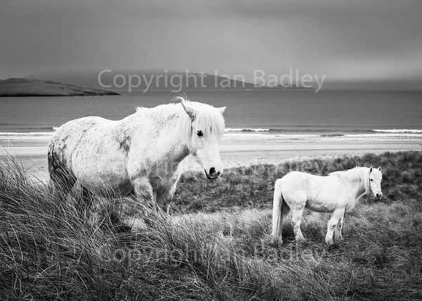 Eriskay ponies on the sand dunes on the Isle of Harris BW