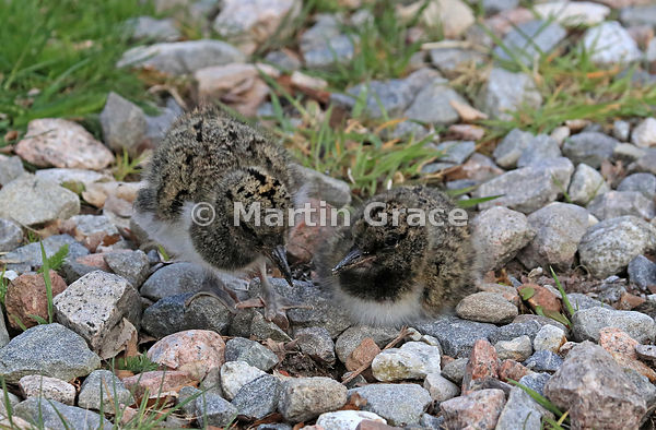 Three to four day old chicks of Eurasian Oystercatcher (Haematopus ostralegus), Highland Wildlife Park car park, Kincraig, In...