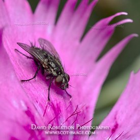 Prints & Stock Image - Housefly, Musca domestica, on a Feathered Pink Dianthus flower