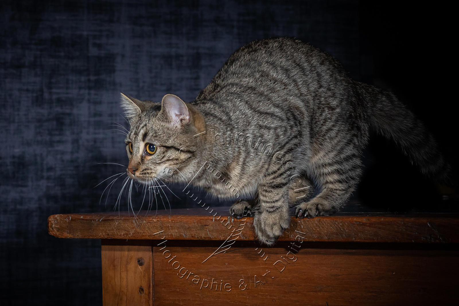 Photographie-Alain-Thimmesch-Chat-1101