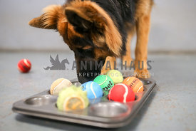 German Shepherd using a treat puzzle at daycare
