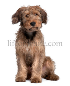 Briard dog, 3 Years Old, sitting in front of white background