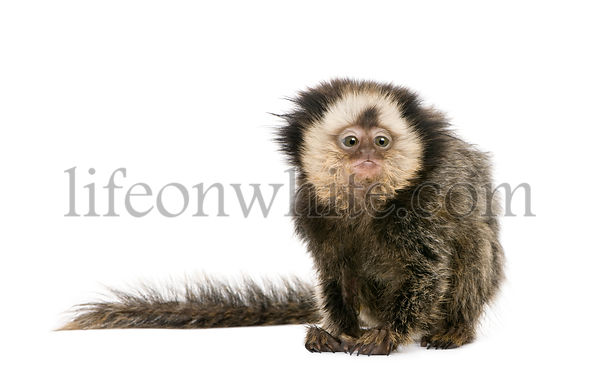 White-headed Marmoset