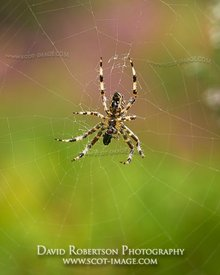 Prints & Stock Image - Garden Spider, Araneus diadematus, on web eating prey.  Clackmannanshire, Scotland.