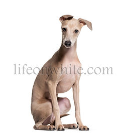 Italian Greyhound puppy, 4 months old, sitting against white background